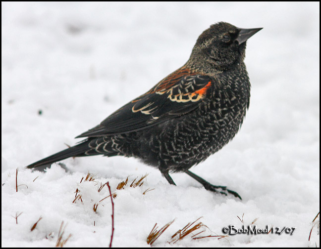 Red-winged Blackbird-Juvenile