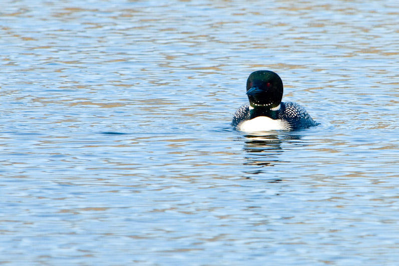 Common Loon  ~  April 19