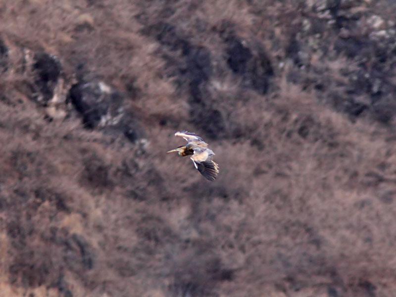 Purpurhäger - Bournes Heron (Ardea bournei)