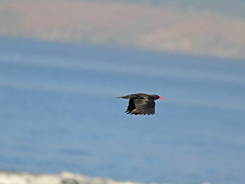 Alpkråka - Red-billed Chough (Pyrrhocorax pyrrhocorax)