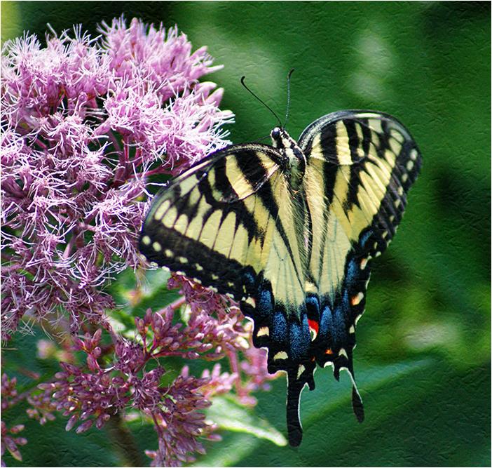 Eastern Tiger Swallowtaill on Joe-Pye
