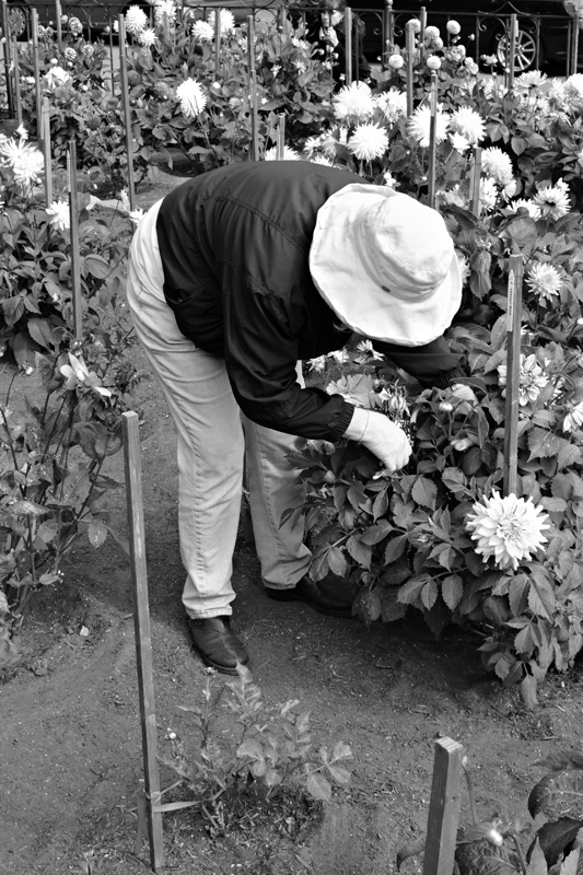 Gardening In The Dahlia Dell