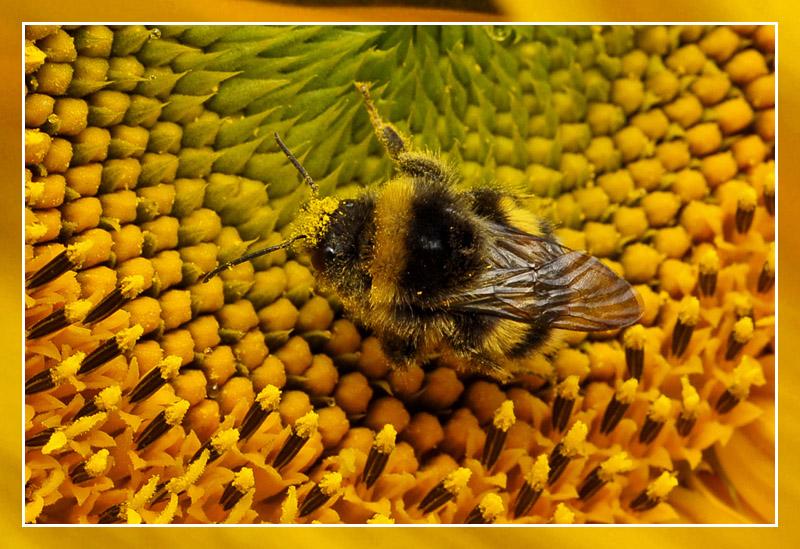 bij - honebee - abeille