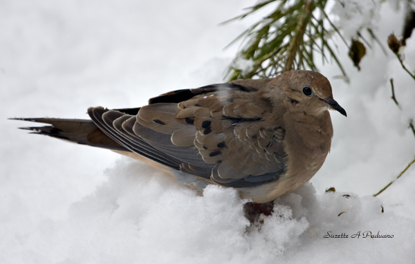 Dove in the snow