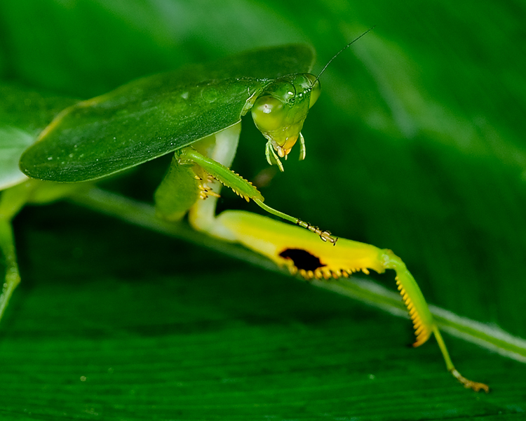 COSTA-RICAN HOODED MANTIS