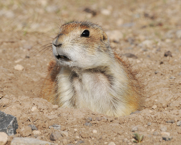 WEST TEXAS PRAIRIE DOG
