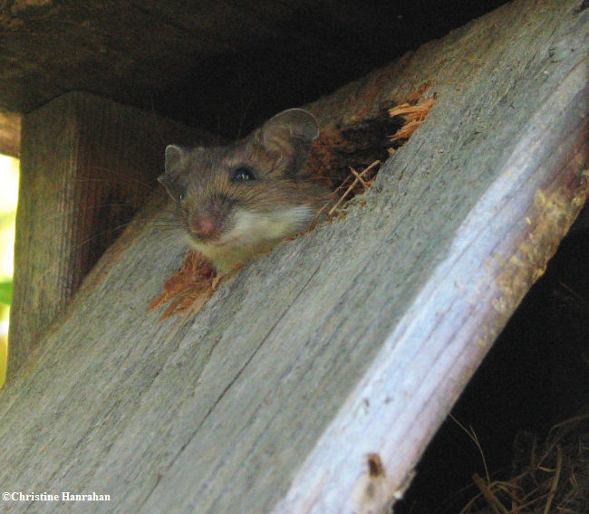 Mouse, probably White-footed Mouse