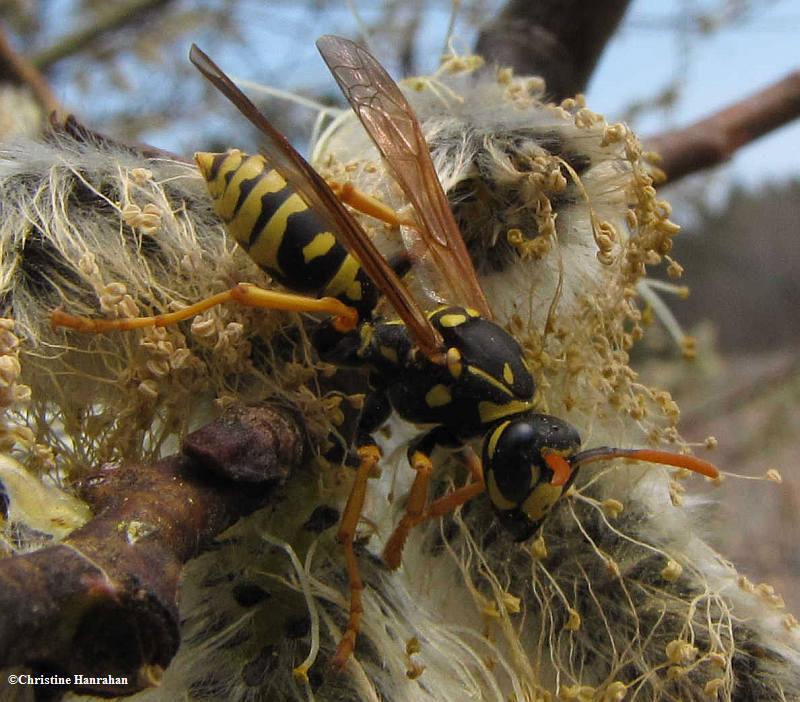 Paper wasp (<em>Polistes dominula</em>) on willow
