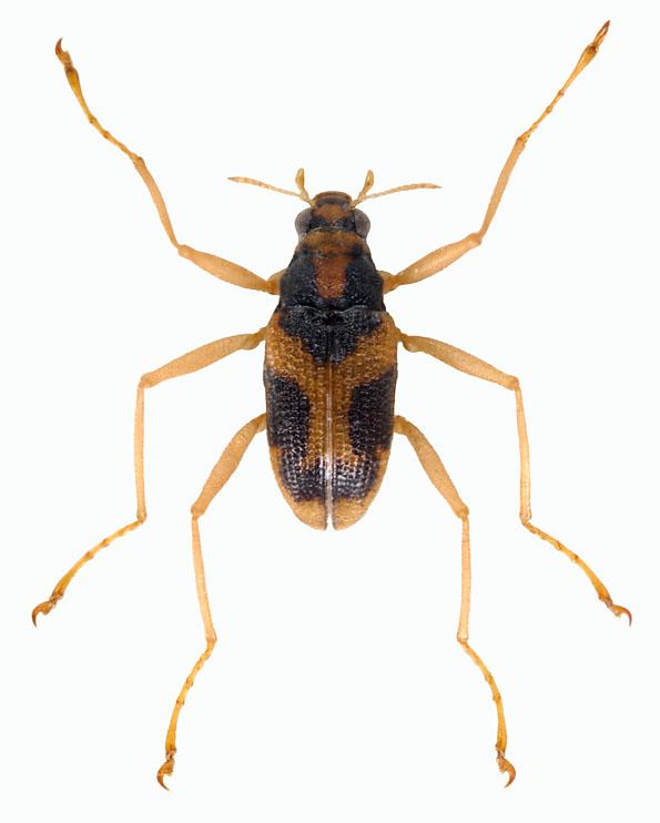 Spider riffle beetle (Ancyronyx hjarnei; Fam. Elmidae), Sulawesi - body length without legs: 1.2 mm