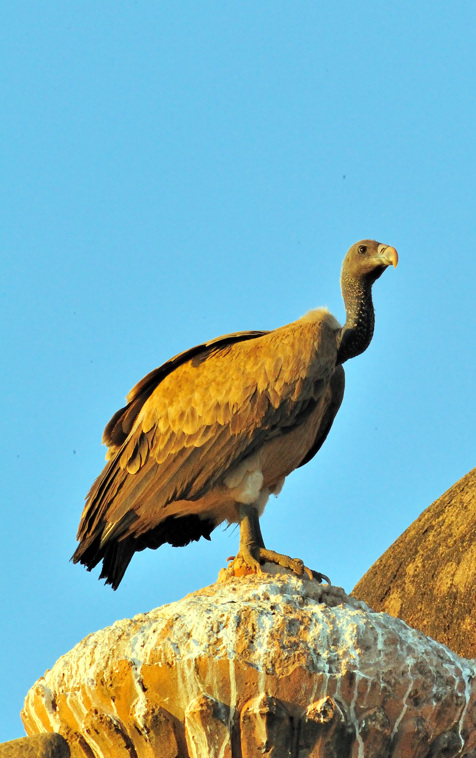 Watching Vulture - Long-billed Vulture (Gyps indicus)