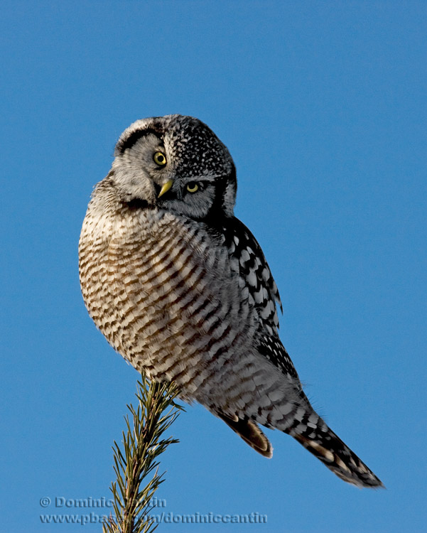Chouette Épervière / Northern Hawk Owl
