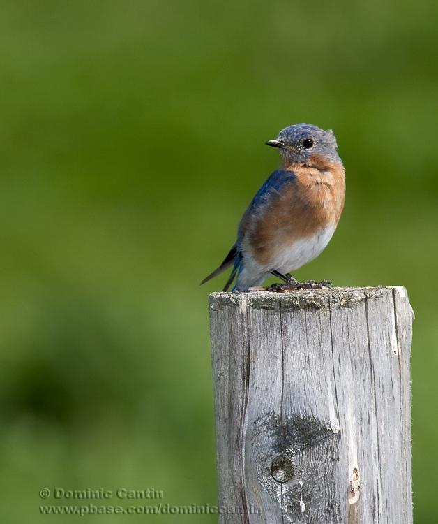 Merlebleu de lEst / Eastern Bluebird