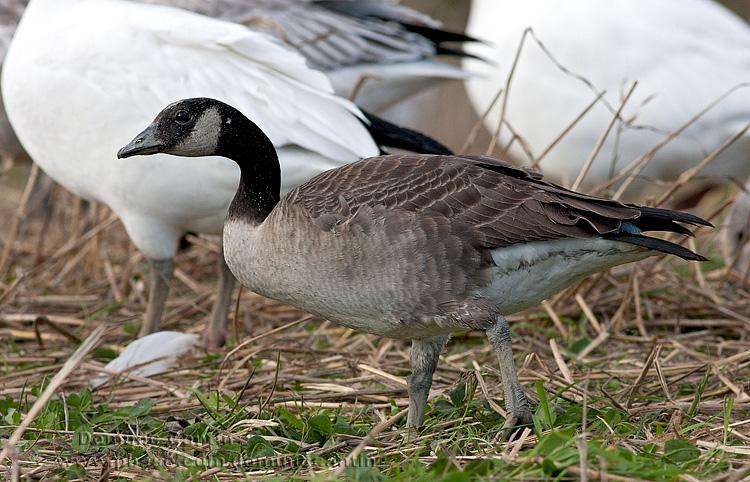 Bernache de Hutchins / Cackling Goose
