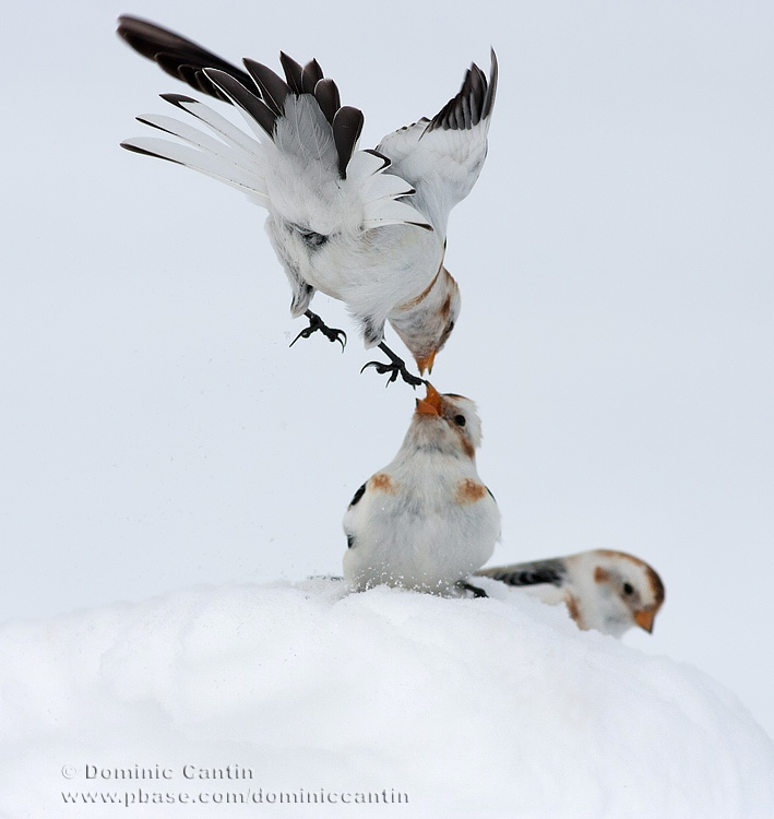 Bruant des neiges  /  Snow Bunting