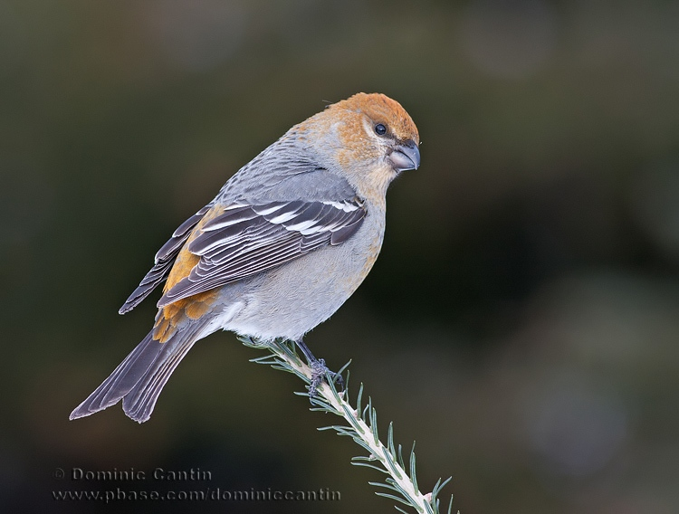 Durbec des Sapins (f) / Pine Grosbeack (f)