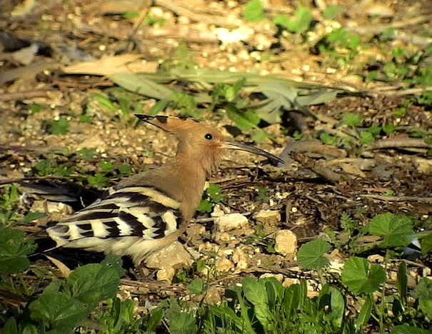 Härfågel<br> European Hoopoe<br> Upupa epops
