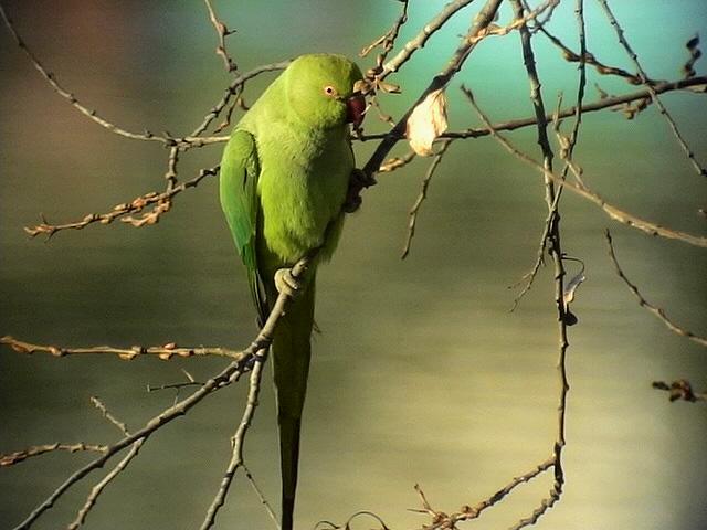Halsbandsparakit<br> Rose-ringed Parakeet<br> Psittacula krameri