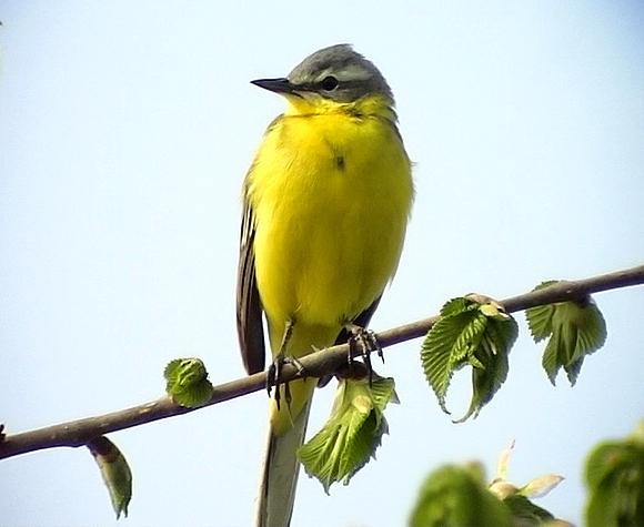 Gulärla<br> Yellow wagtail<br> Motacilla flava flava
