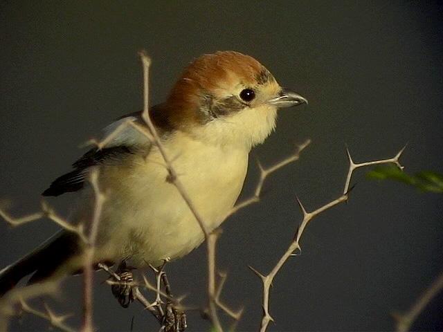 Rödhuvad törnskata<br> Wood Shrike<br> Lanius senator