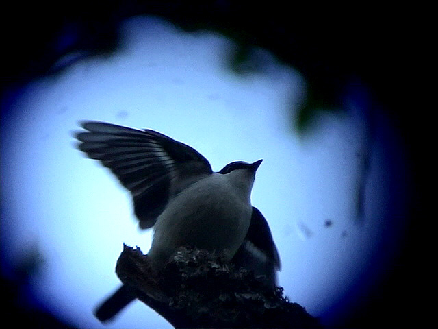 Atlasflugsnappare<br> Atlas flycatcher<br> Ficedula speculigera
