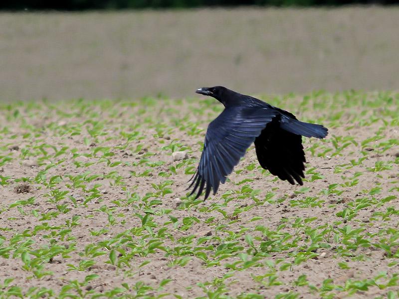 Korp <br> Raven<br> Corvus corax