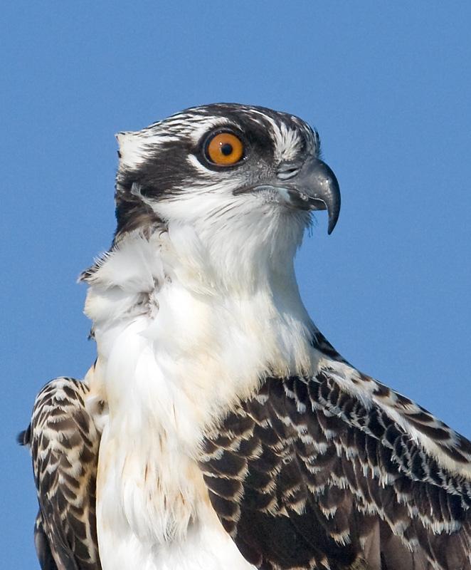 osprey subadultportrait.jpg
