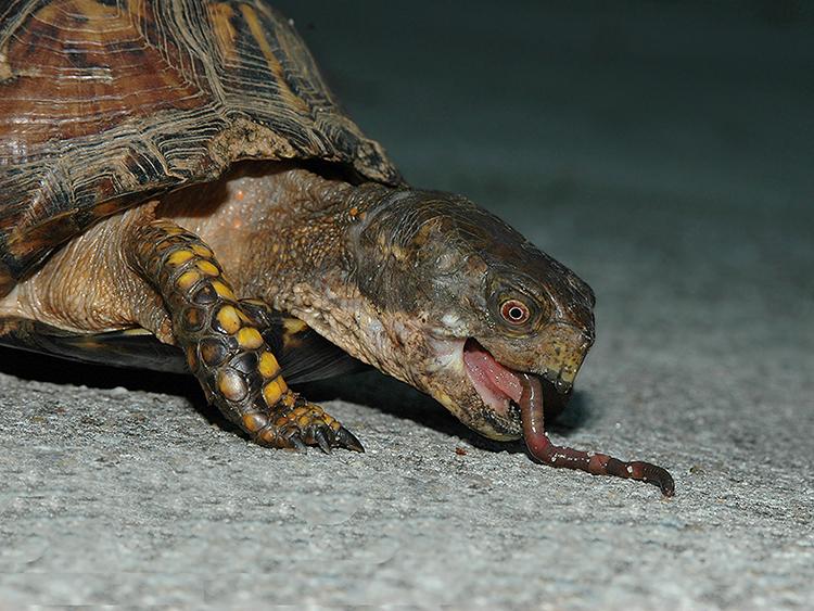Eastern Box Turtle with Earthworm Prey