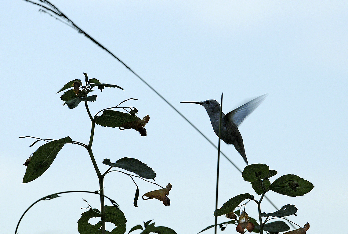 Leucistic Ruby-throated Hummingbird at the End of the Day