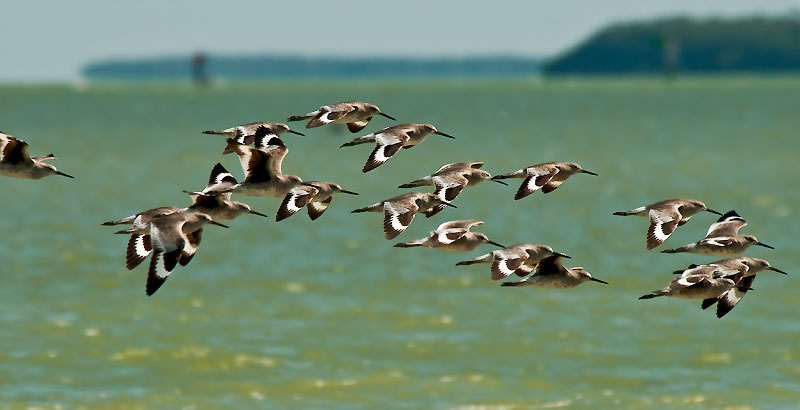 flock of willets