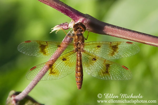 Eastern Amberwing Dragonfly (female)