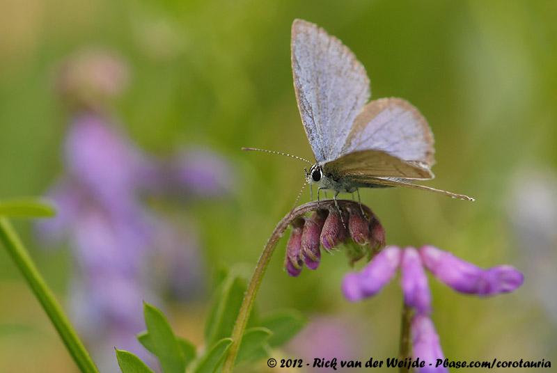 Short-Tailed Blue<br><i>Cupido argaides</i>
