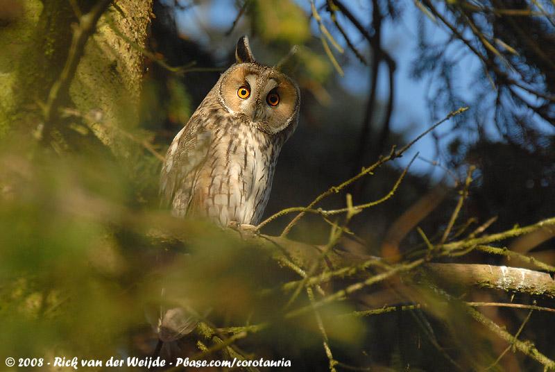 Long-Eared Owl<br><i>Asio otus otus</i>