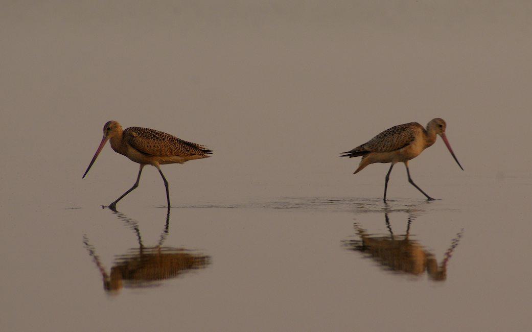 Shore Birds #1