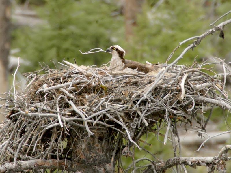 Osprey Nest - Yellowstone