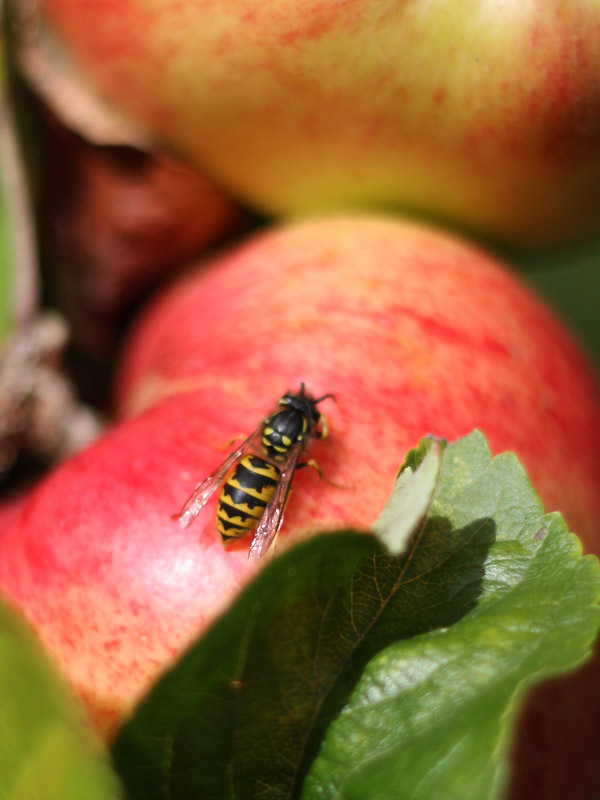 Wasp on an Apple