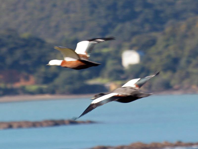 Paradise birds in flight