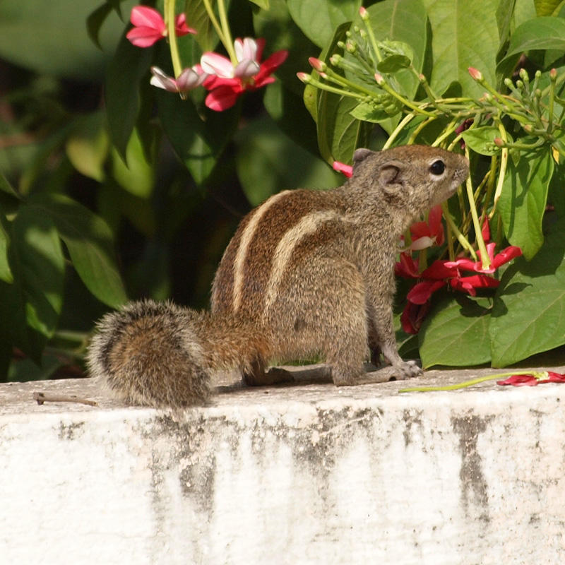 The Indian squirrel