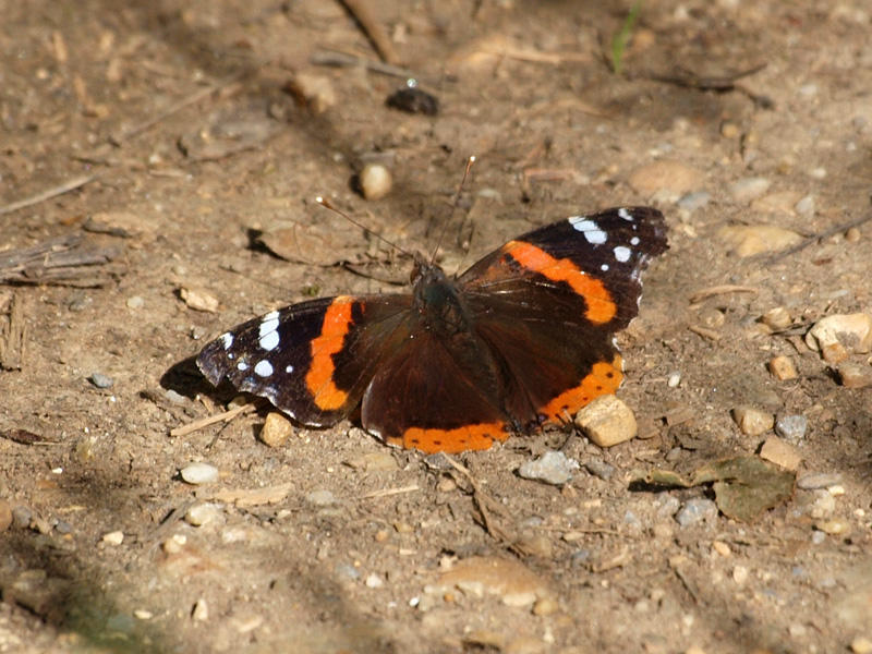 Among the first butterflies of Spring