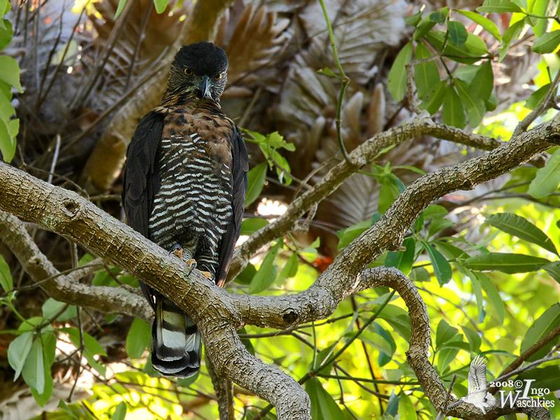 Adult Sulawesi Hawk-Eagle