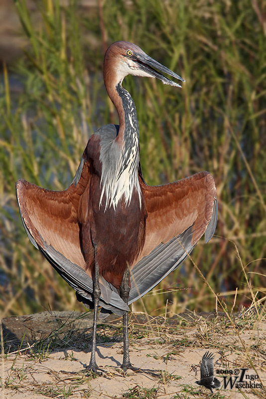 Adult Goliath Heron
