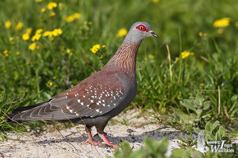 Adult Speckled Pigeon