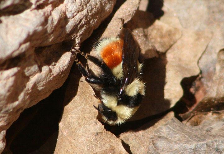 Bombus huntii; Bumble Bee species