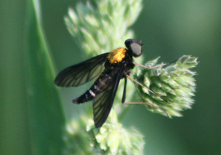 Chrysopilus thoracicus; Golden-backed Snipe Fly