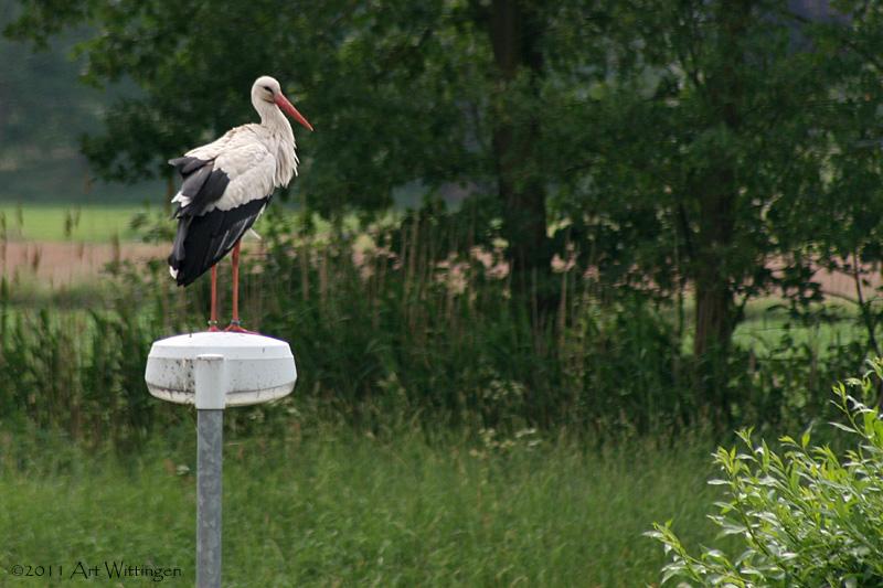 Ciconia ciconia / Ooievaar / White Stork