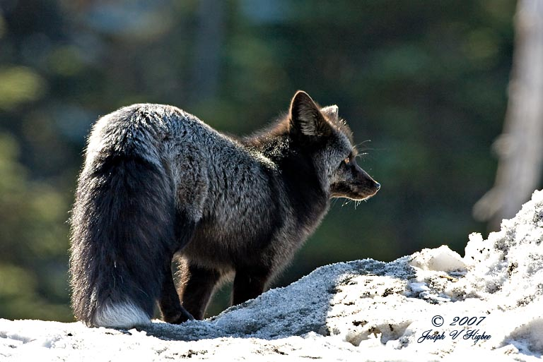 A Black Red Fox