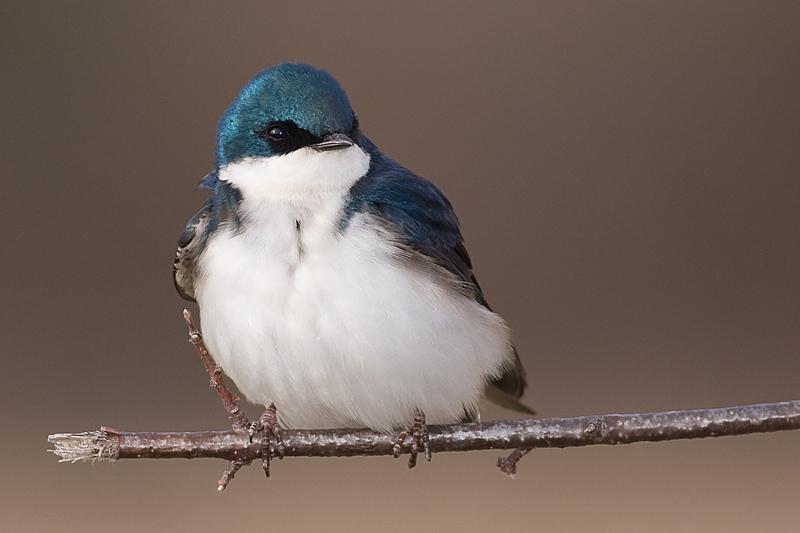 tree swallow 80