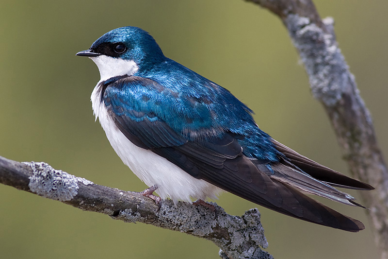 tree swallow 106