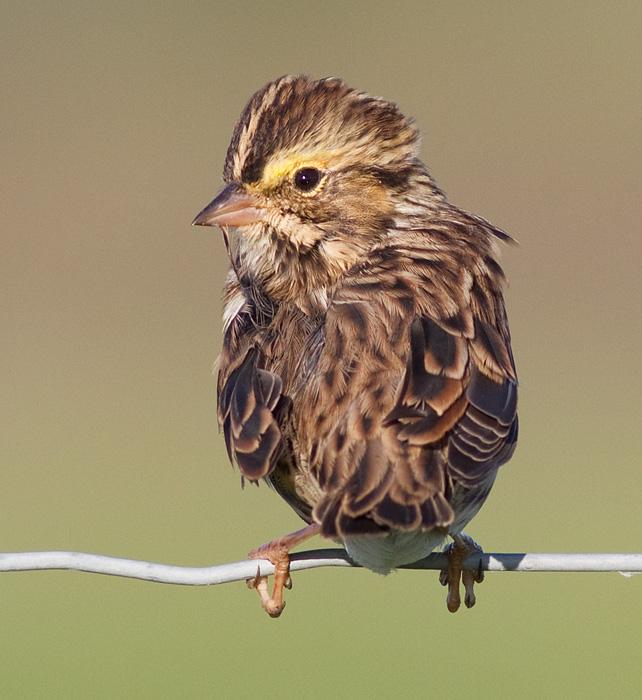 savannah sparrow 45