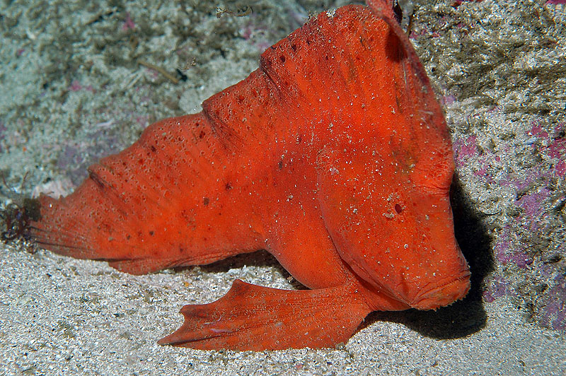 Red Indian Fish (Pataecus Fronto)
