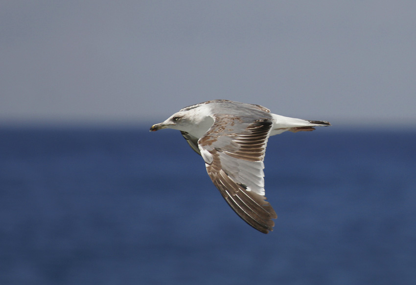Yellow-legged Gull (Larus michahellis)